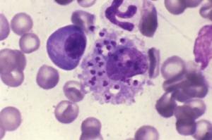 Leishmania en perro